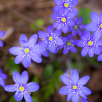 Nuuksio National Park in spring, in April. The promise of summer here in north, the common hepatica blooming. It's the first flower to bloom in the forest. Finnish nature near Helsinki, Finland.