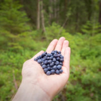 Nuuksio National Park in summer, in July. Blueberries are good for picking now! Finnish nature near Helsinki, Finland.