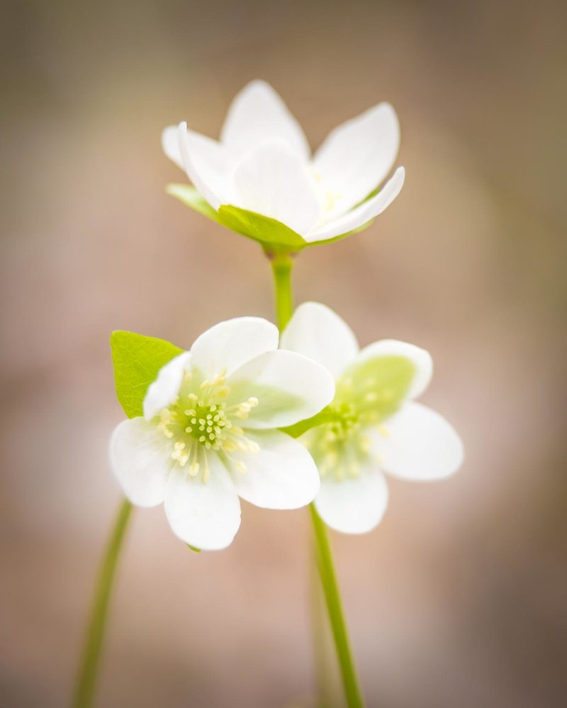 Nuuksio National Park in spring in May. Rare white common hepatica wildflowers blooming in the forest. Finnish nature near Helsinki, Finland.