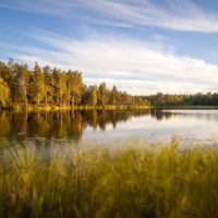 Nuuksio National Park in summer. A gentle wind moving reeds on a summer evening in July. Nature near Helsinki, Finland.