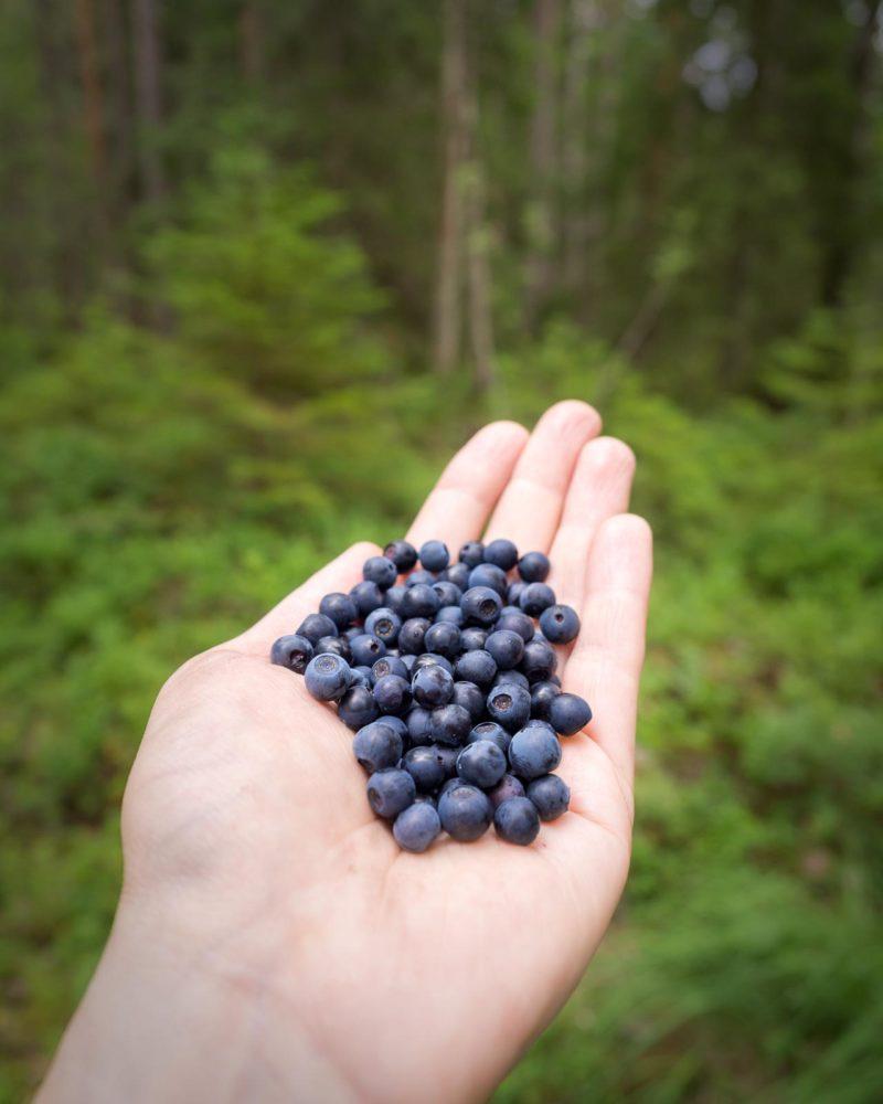 Nuuksio National Park in summer in July. Handful of wild blueberries, or actually bilberries. Nature near Helsinki, Finland.