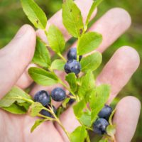 Nuuksio National Park in summer, in July. Wild blueberries, sweet and fresh. Finnish nature near Helsinki, Finland.