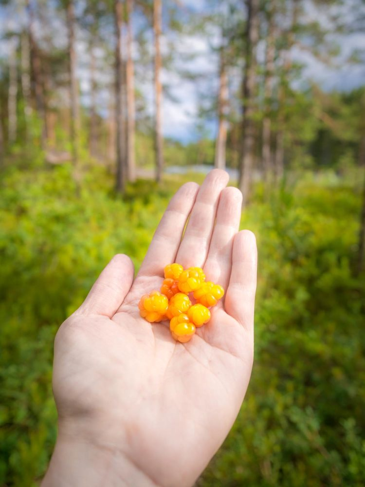 Nuuksio National Park in summer, in July. Something special here, cloudberry, the treasure of Lapland. So good. Finnish nature near Helsinki, Finland.