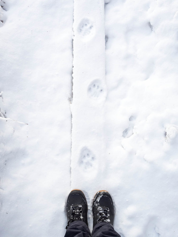 Nuuksio National Park in winter. Lynx's footprints on the trail. Finnish nature near Helsinki, Finland.