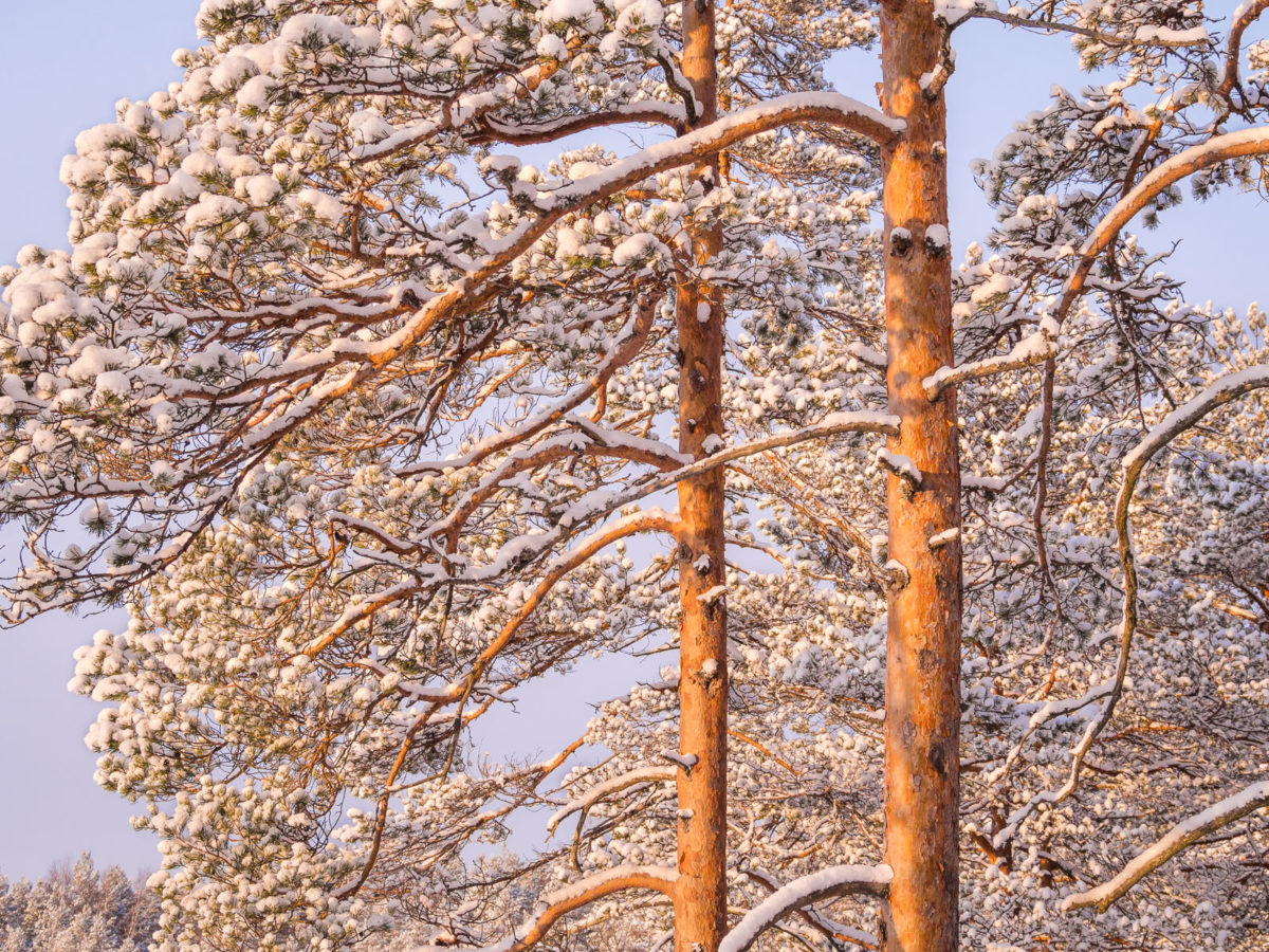 Nuuksio National Park in winter. The last light of the day shining on trees covered by snowfall. Nature near Helsinki, Finland.
