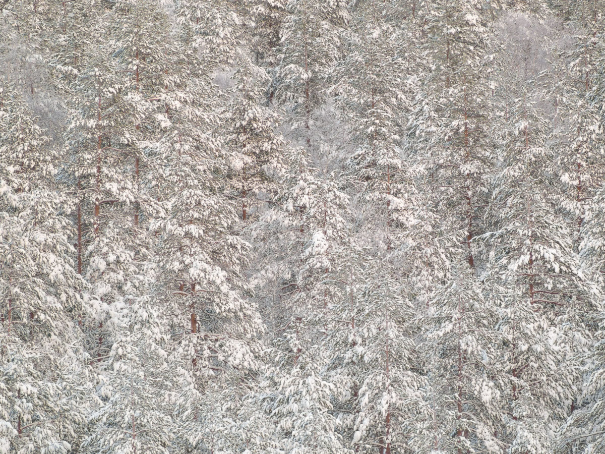 Nuuksio National Park in winter. Snow-covered trees in December. Nature near Helsinki, Finland.